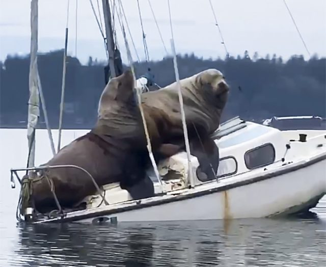 Seelöwen kapern Segelboot – Fischer hält Vorfall auf Video fest