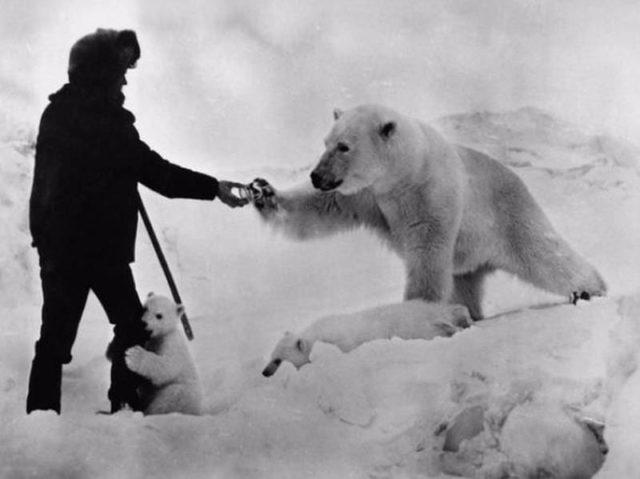 Eisbärenfütterung Arktisforscher verschenkt Dosenmilch Russland im strengen Klima der Chuckchi-Halbinsel im Jahr 1980 an Eisbärmama